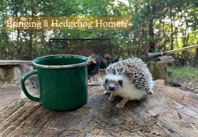 Bringing a Hedgehog to your home photo by Shelby Cohron on Unsplash