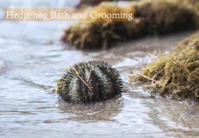 Hedgehog Bath and Grooming photo by Milada Vigerova on unsplash