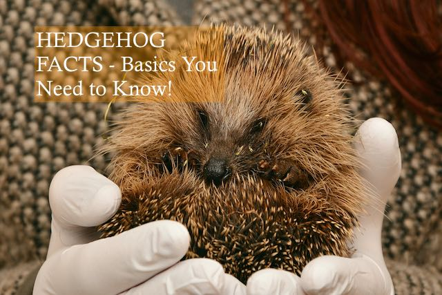 Hedgehog Facts Basics You Need to Know Photo by Congerdesign on Pixabay