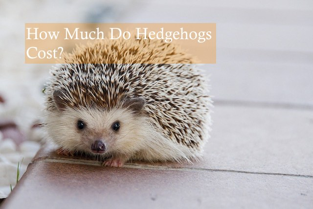 How Much Do Hedgehogs Cost? Photo by Amaya Eguizabal on Pixabay