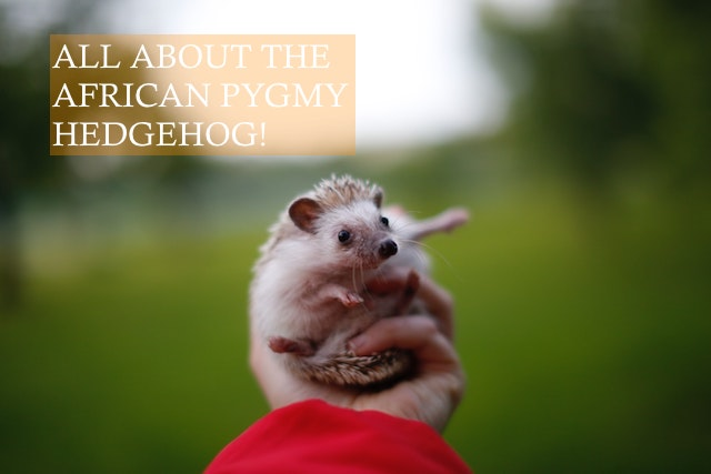 How to look after an African Pygmy Hedgehog photo by Galina Chikunova on unsplash