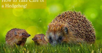 How to take care of a Hedgehog photo by Gerhard G on Pixabay