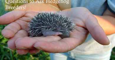 Questions to Ask Hedgehog Breeders Photo by Enrica Bressan
