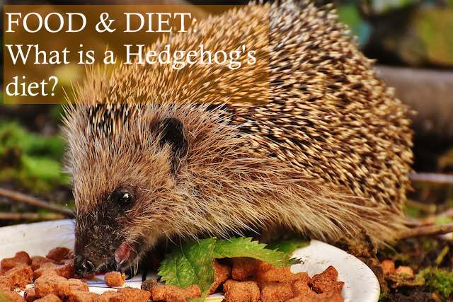 What is a hedgehog's diet photo by Alexa photos on Pixabay
