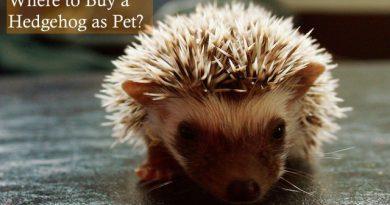 Where to Buy a Hedgehog as Pet HHC101 photo by Gupop Thasu