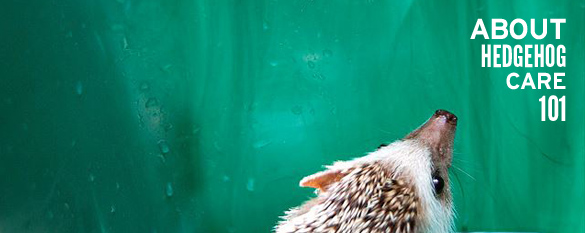 About Hedgehog Care 101