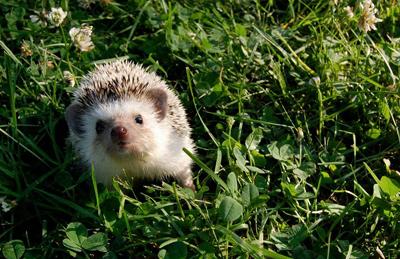 grumpy hedgehog pet acorn