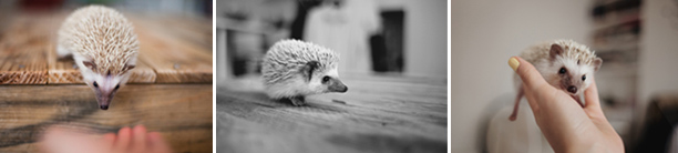 pet hedghog bramble play time and handling