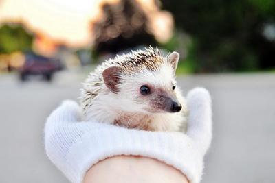 pet hedgehog care photo 2