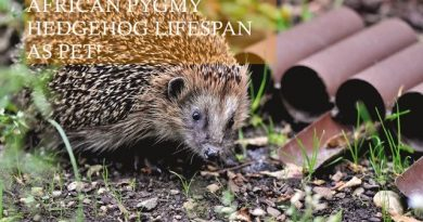 African Pygmy Hedgehog lifespan as pet photo by capriauto on pexels