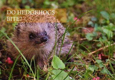 Do African Pygmy hedgehogs bite photo? HHC101