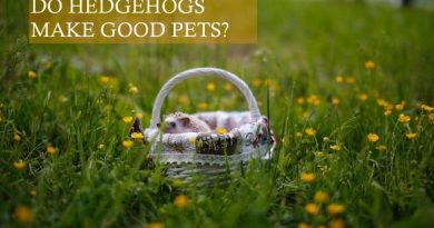 Do Hedgehog Make Good Pets photo by Galina Chikunova on unplash
