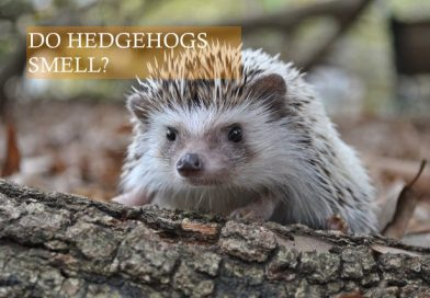 Do Hedgehogs smell? Photo by Kenny Belue on Pexels