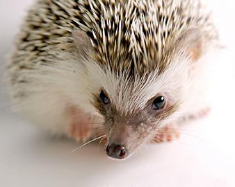 do hedgehogs make good pets photo