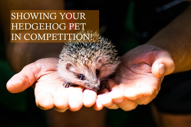 Showing your Hedgehog in Competitions photo by Indigo Blackwood on pexels