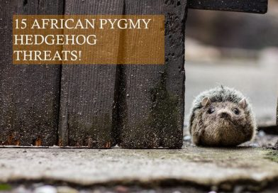 15 African Pygmy Hedgehog Threats photo by Clement Falize on unsplash