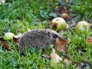 Hedgehog Diet HHC101 photo by Wolfgang Hasselmann on unsplash