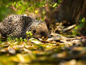 Hedgehog Habitat HHC101 photo by Guillaume De Germain on unsplash